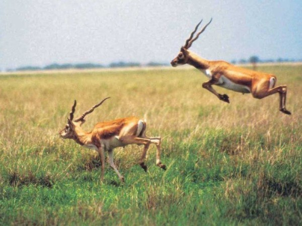 Blackbuck National Park in Bhavnagar