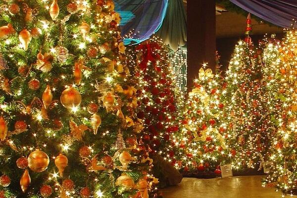 Christmas Trees, Gisborne NZ