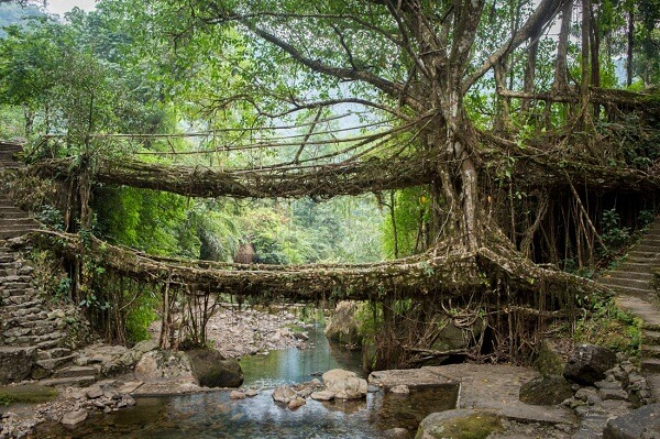 Living Root Bridge Meghalaya